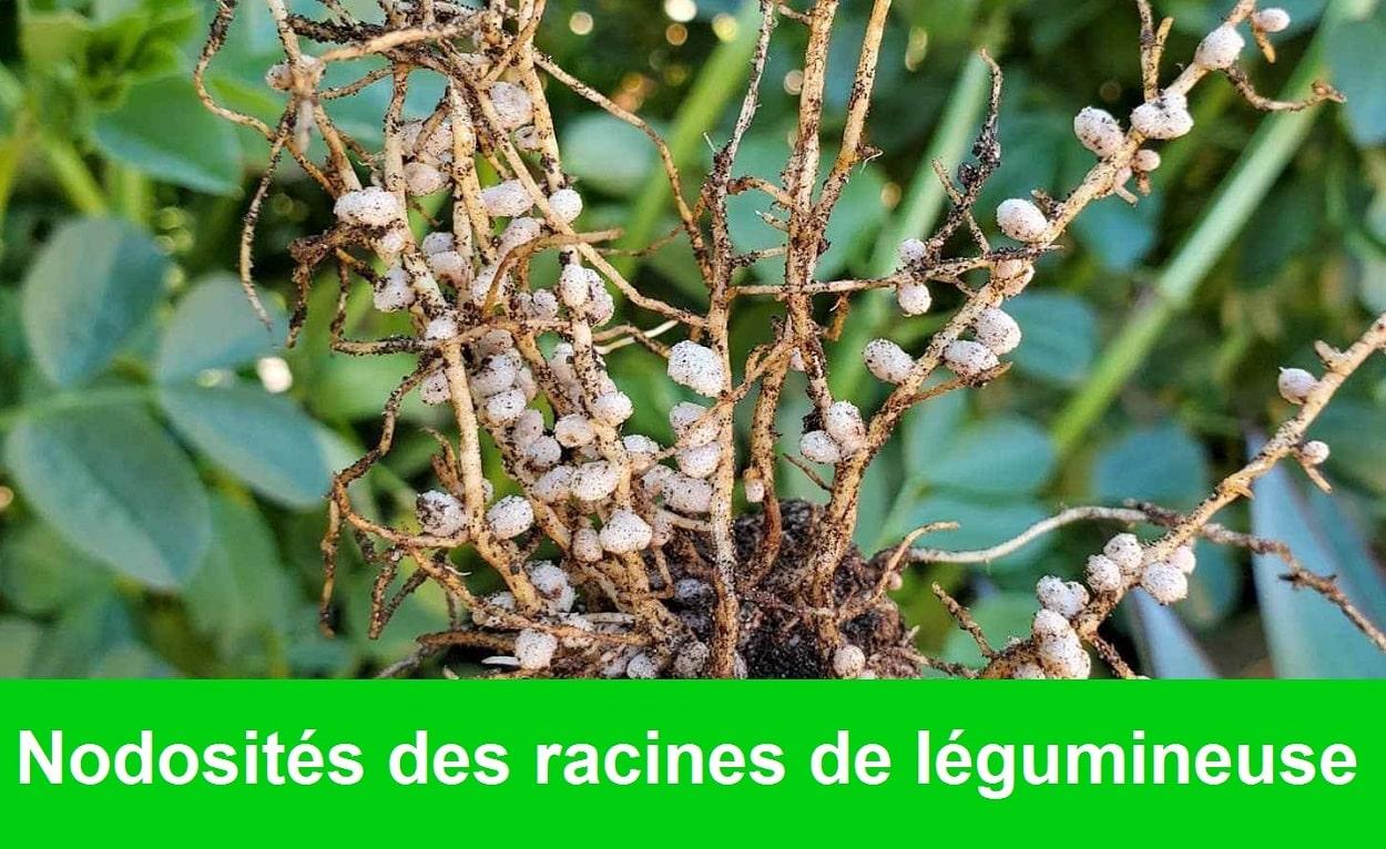nodosites - racines - legumineuses